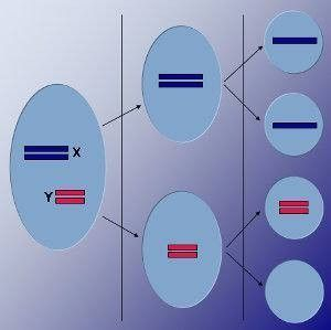 Función de reproducción de las células en animales