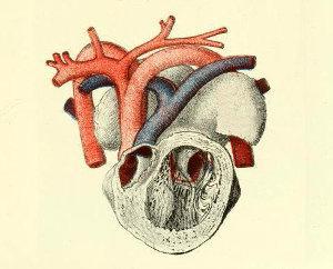 Aparato circulatorio de los animales. Tipos de sistemas, circulación abierta y cerrada