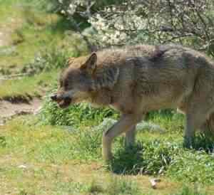 Lobo en semilibertad