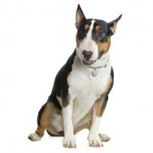 Perros peligrosos: Bull terrier