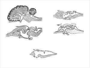 Sistema nervioso en animales,tipos y funcionamiento
