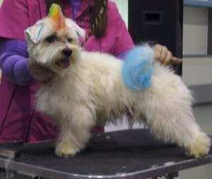 Técnicas peluquería canina, perros y gatos
