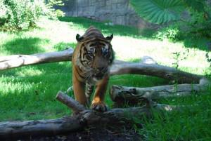 Tigre en posición de ataque