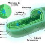 Cianobacterias, características, reproducción, nutrición y ejemplos