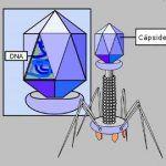 Bacteriófagos – los virus que infectan bacterias y sus usos en medicina