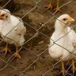 Animales de granja y su provecho para el hombre