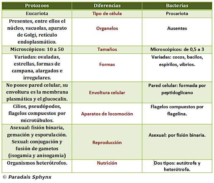 Diferencias entre bacterias y protozoos, resumen o esquema comparativo