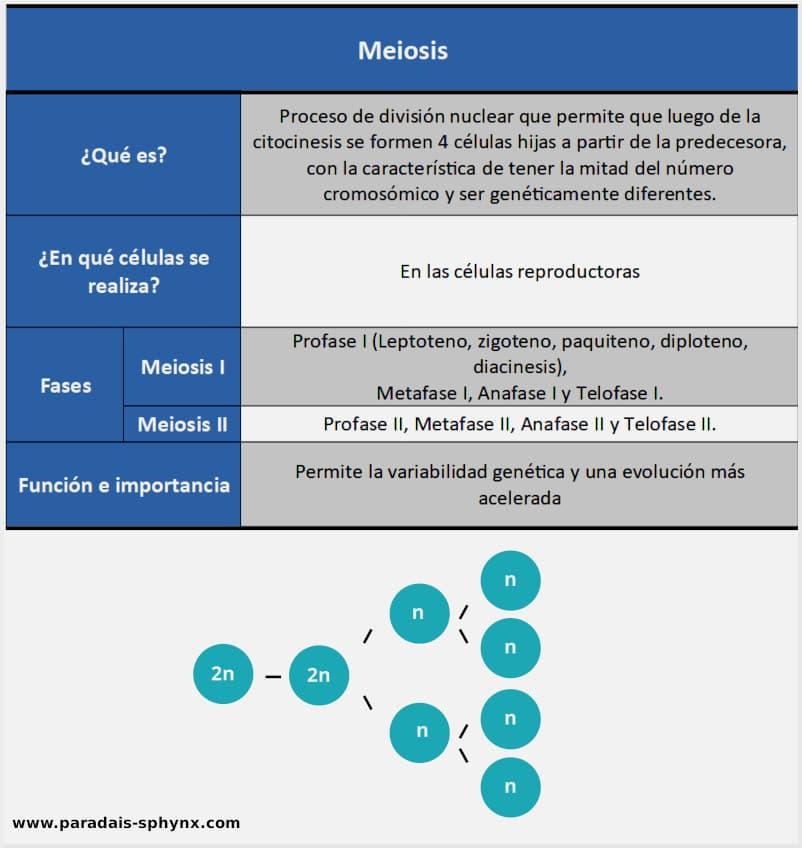 Esquema, resumen de las meiosis