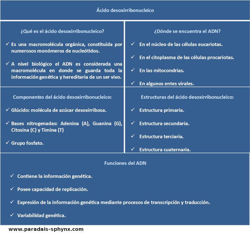 Ácido desoxirribonucleico, resumen, esquema